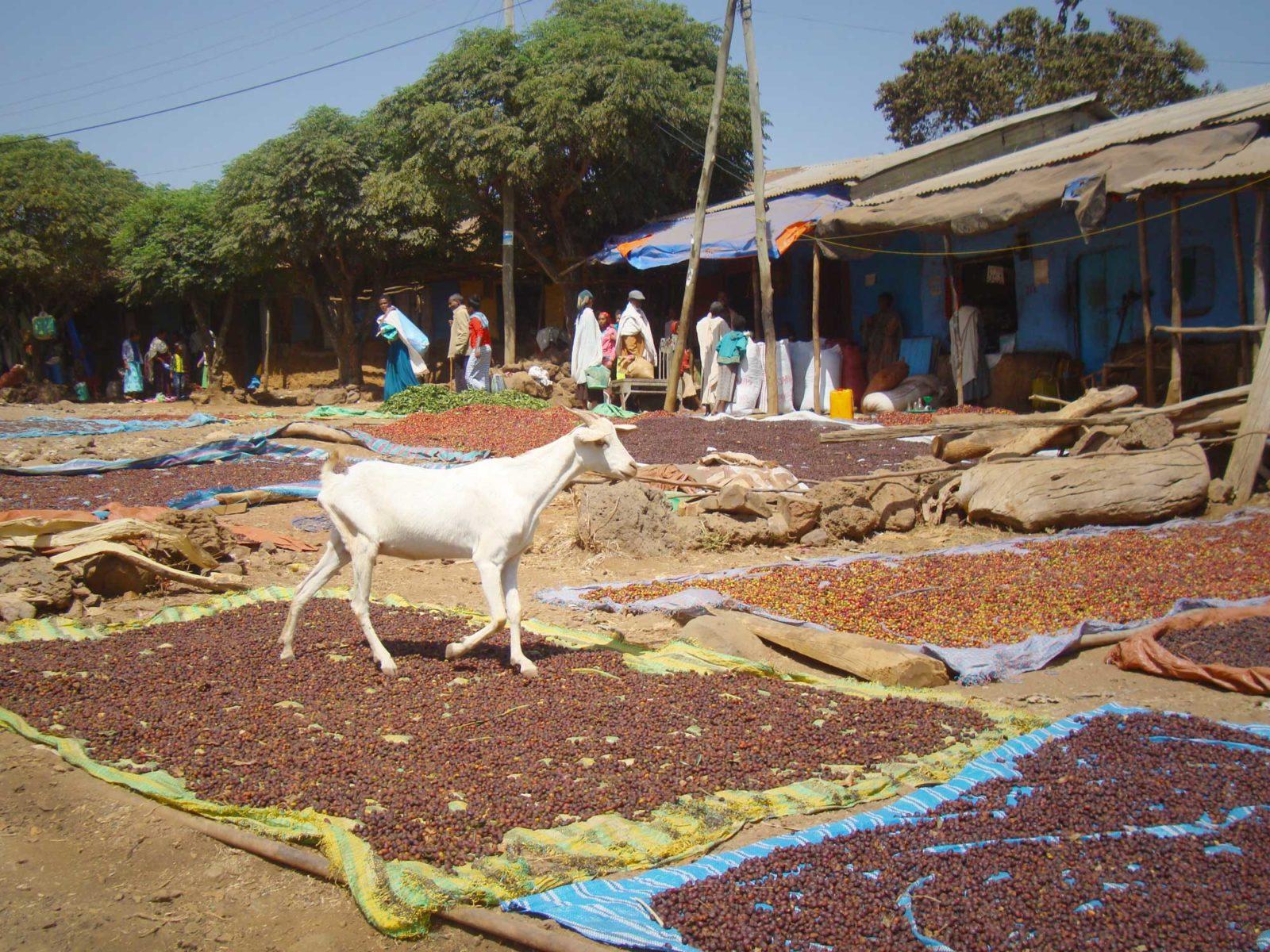 Eine Ziege läuft über Kaffeekirschen, welche zum Trocknen ausgelegt am Boden liegen.